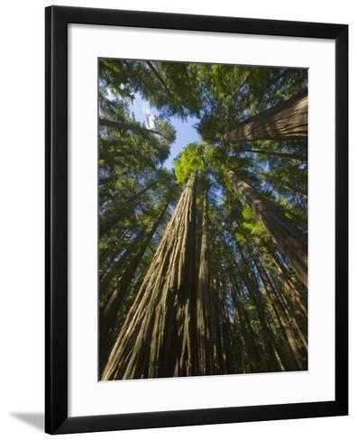 Redwood forest in Humboldt Redwood State Park-John Eastcott & Yva Momatiuk-Framed Art Print