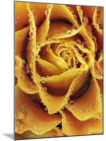 Rose with rain drops-Frank Krahmer-Mounted Photographic Print