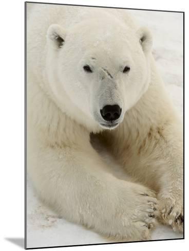 Polar bear (Ursus maritimus)-Don Johnston-Mounted Photographic Print