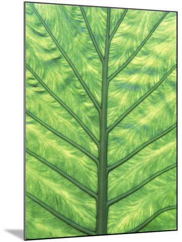 Yellow Skunk Cabbage (Lysichitum Americanum) Leaf Pattern, British Columbia, Canada.-Chris Cheadle-Mounted Photographic Print