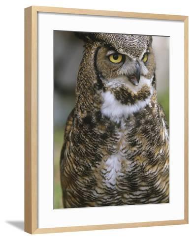 Great Horned Owl, Bubo Virginianus, British Columbia, Canada.-Ian McAllister-Framed Art Print