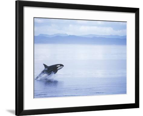 Killer Whale Breaching, British Columbia, Canada.-Jim Borrowman-Framed Art Print