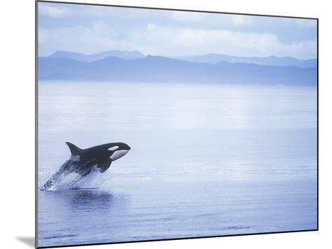 Killer Whale Breaching, British Columbia, Canada.-Jim Borrowman-Mounted Photographic Print