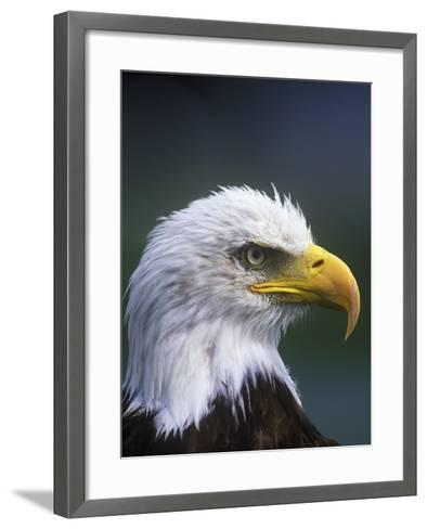 Bald Eagle, Canada.-Russ Heinl-Framed Art Print