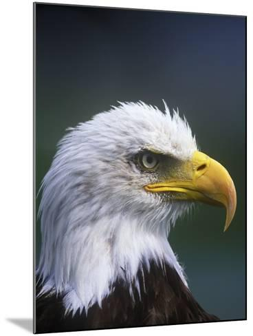 Bald Eagle, Canada.-Russ Heinl-Mounted Photographic Print