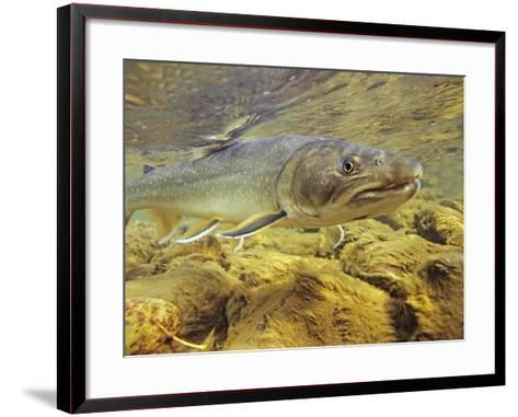 Interior Bull Trout, Bulkley River, British Columbia, Canada.-Keith Douglas-Framed Art Print