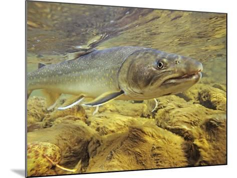 Interior Bull Trout, Bulkley River, British Columbia, Canada.-Keith Douglas-Mounted Photographic Print