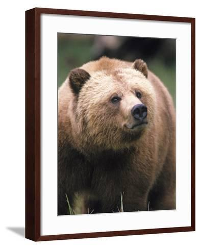 Grizzly Bear (Ursus Arctos), Glendale Cove, Knight Inlet, British Columbia, Canada.-Keith Douglas-Framed Art Print