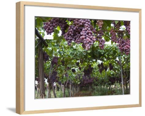 Red table grapes on vine in Basilicata-Mark Bolton-Framed Art Print