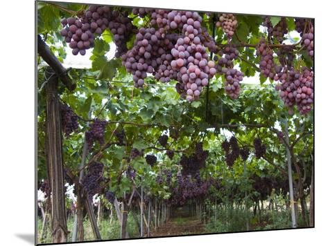 Red table grapes on vine in Basilicata-Mark Bolton-Mounted Photographic Print