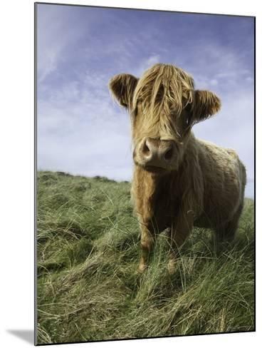 Shaggy haired highland cow-Macduff Everton-Mounted Photographic Print