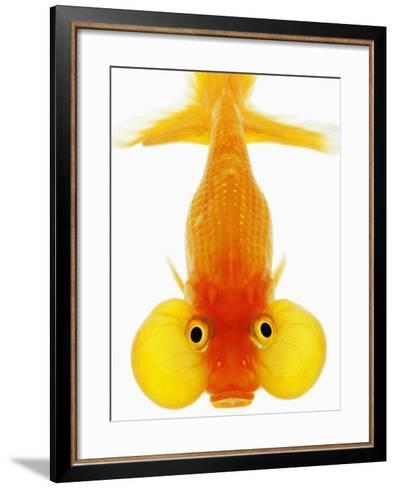 Bubble Eye Goldfish-Martin Harvey-Framed Art Print