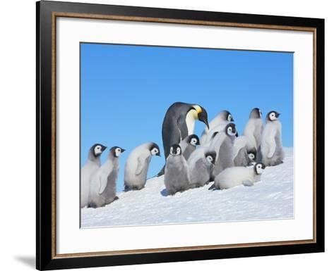 Emperor penguins-Frank Krahmer-Framed Art Print