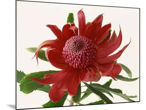 Close Up Image of Red Tropical Flower--Mounted Photographic Print