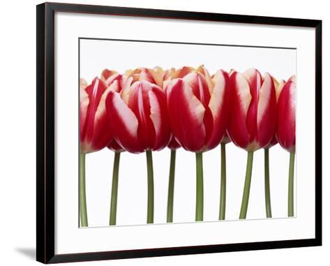 Red Tulips, Close Up, White Background--Framed Art Print