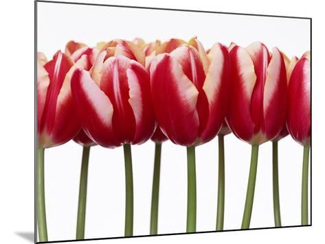 Red Tulips, Close Up, White Background--Mounted Photographic Print