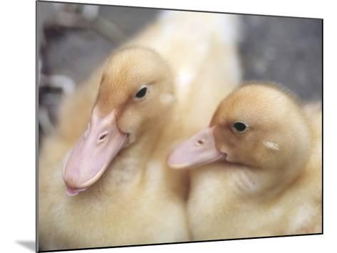 Ducklings-Aso Fujita-Mounted Photographic Print