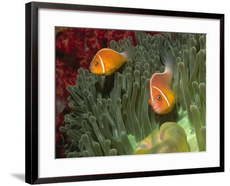 Pink Anemonefish in Magnificant Sea Anemone-Hal Beral-Framed Art Print