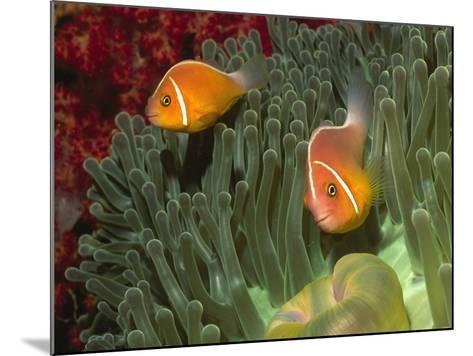 Pink Anemonefish in Magnificant Sea Anemone-Hal Beral-Mounted Photographic Print