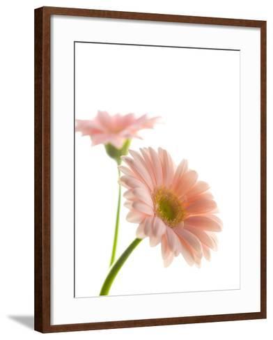 Gerbera daisy-Kiyoshi Miyagawa-Framed Art Print