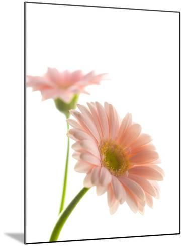 Gerbera daisy-Kiyoshi Miyagawa-Mounted Photographic Print