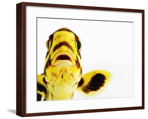 Oriental sweetlips-Martin Harvey-Framed Art Print