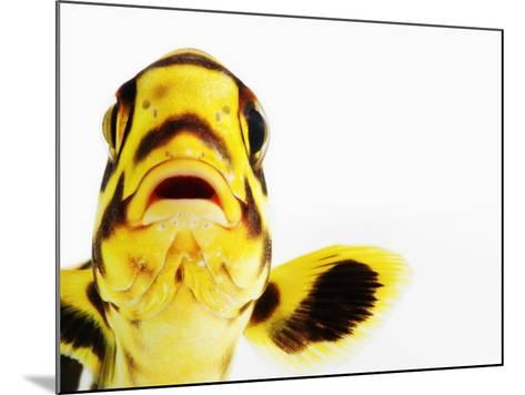 Oriental sweetlips-Martin Harvey-Mounted Photographic Print