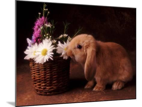 Bunny Smelling Basket of Daisies-Don Mason-Mounted Photographic Print