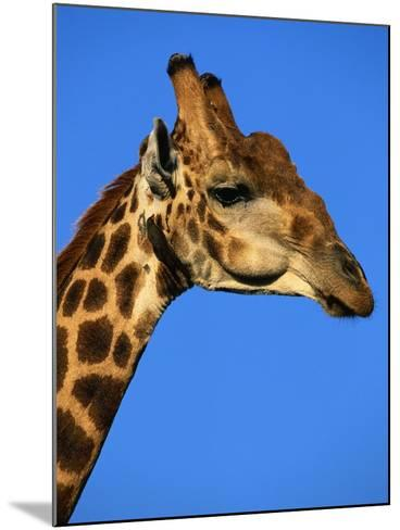 Red-Billed Oxpecker on Giraffe's Head--Mounted Photographic Print