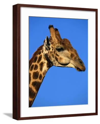 Red-Billed Oxpecker on Giraffe's Head--Framed Art Print