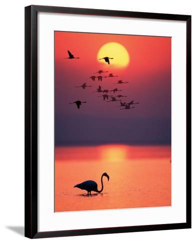 Greater Flamingos at Sunset--Framed Art Print