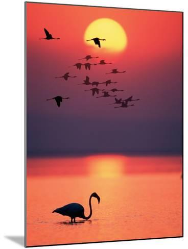 Greater Flamingos at Sunset--Mounted Photographic Print