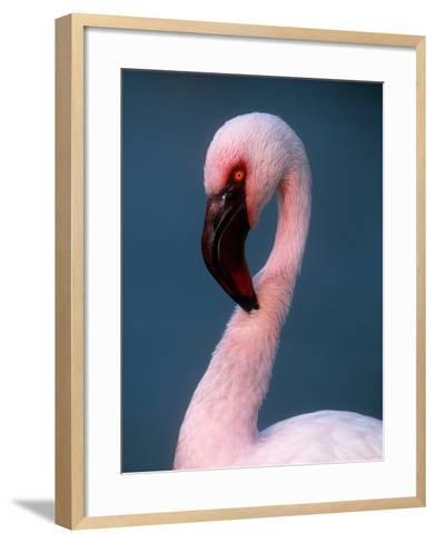 Lesser Flamingo--Framed Art Print