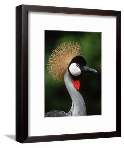 Grey Crowned Crane-Martin Harvey-Framed Art Print