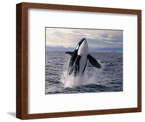 Breaching Killer Whale-Tom Brakefield-Framed Art Print