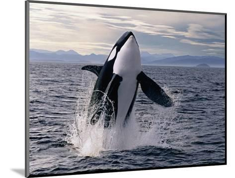 Breaching Killer Whale-Tom Brakefield-Mounted Photographic Print