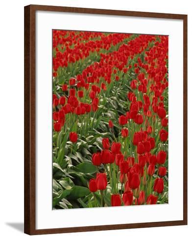 Red Tulips-Robert Marien-Framed Art Print