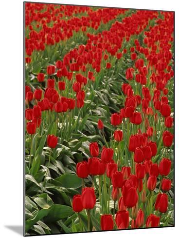 Red Tulips-Robert Marien-Mounted Photographic Print