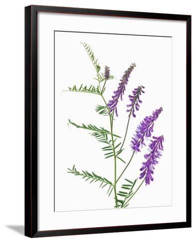 Vicia-Frank Krahmer-Framed Art Print