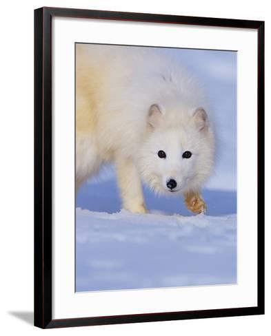 Arctic Fox Walking Across Snow-Theo Allofs-Framed Art Print