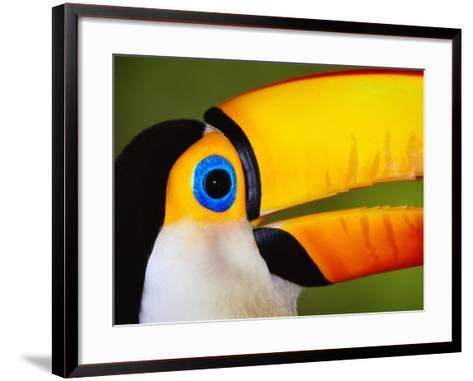 Head and Beak of a Toco Toucan-Theo Allofs-Framed Art Print
