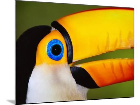 Head and Beak of a Toco Toucan-Theo Allofs-Mounted Photographic Print