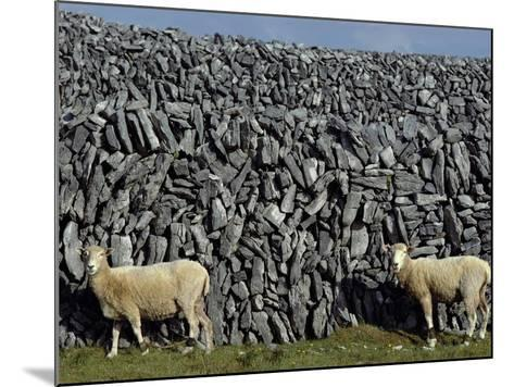 Hobbled Sheep by a Dry Stone Wall-Alen MacWeeney-Mounted Photographic Print
