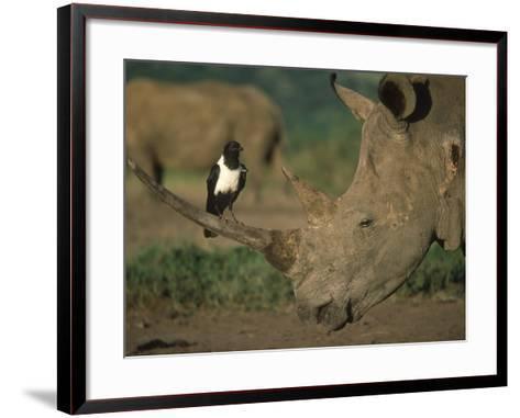 Pied Crow Perched on White Rhino-Martin Harvey-Framed Art Print
