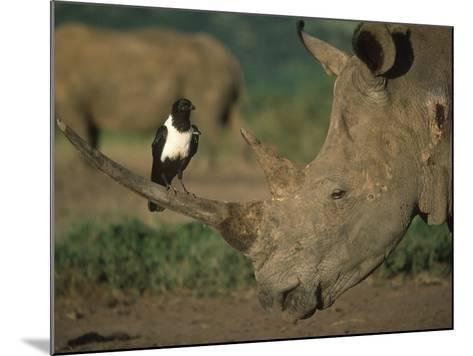 Pied Crow Perched on White Rhino-Martin Harvey-Mounted Photographic Print