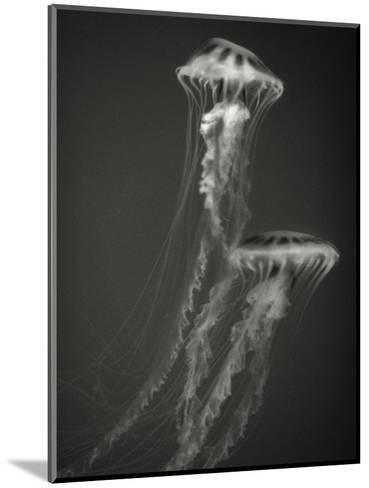 Two Jellyfish-Henry Horenstein-Mounted Photographic Print
