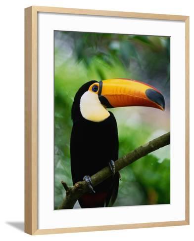 Toco Toucan-Kevin Schafer-Framed Art Print