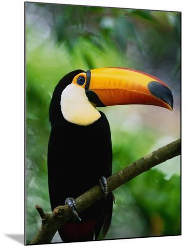 Toco Toucan-Kevin Schafer-Mounted Photographic Print