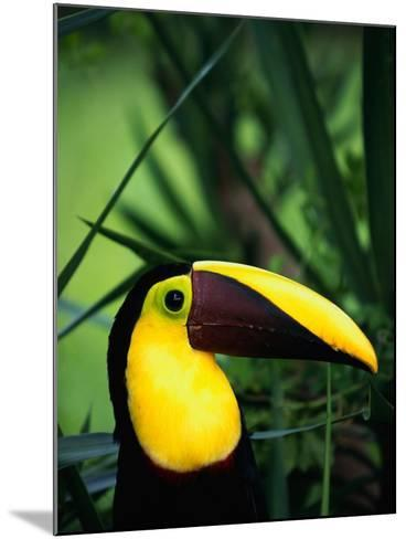 Chestnut-Mandibled Toucan-Tom Brakefield-Mounted Photographic Print