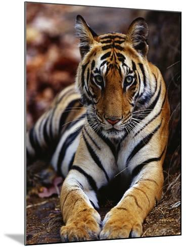 Young Female Tiger Lying on Rock-Theo Allofs-Mounted Photographic Print